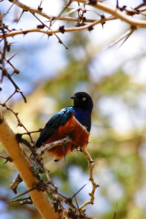 Superb Starling Amboseli  Kenya