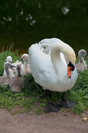 Swan walking With Cygnets