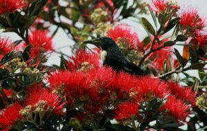 NZ Tui Feeding on  Pohutukawa flowers