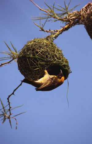 Weaver Bird in South Africa, Nest Building
