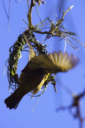 Weaver Bird  Oudtshoorn,  South Africa