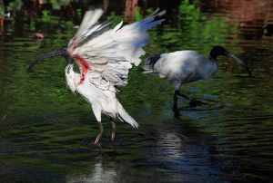 White Ibis Bathing