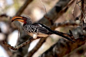 Yellow Billed Hornbill Sth Africa