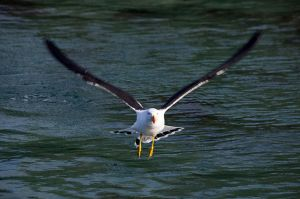 Pacific Gull  Shouten Island